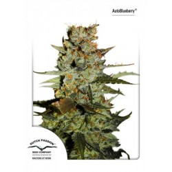 Auto Blueberry (7 uds)