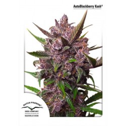 Dutch Passion Auto Blackberry Kush 3Und