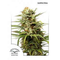 Dutch Passion White Widow 7Und Auto