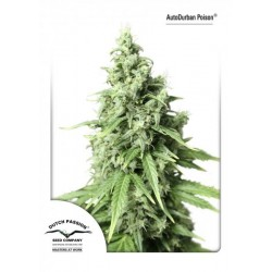 Dutch Passion Autodurban Poison 3Und Auto
