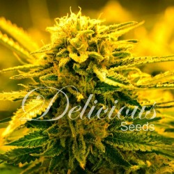 Delicious Seeds Sugar Black Rose Auto 10Und