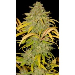 Auto Northern Cream 3 unids