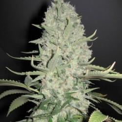 Female White Widow x Big Bud 4 unids