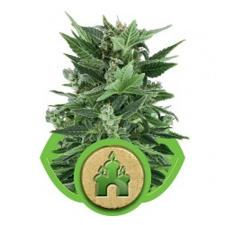 Royal Queen Royal Kush Auto 1Und