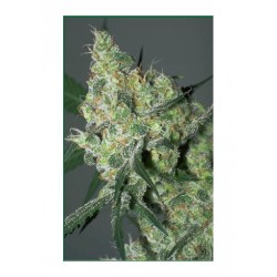 Serious Seeds White Russian 6 unids