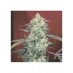 Serious Seeds Ak-47 1unid (R)