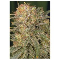 Serious Seeds Bubble Gum 10 unids (R)