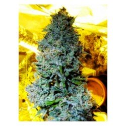 Serious Seeds White Russian 10 unids (R)
