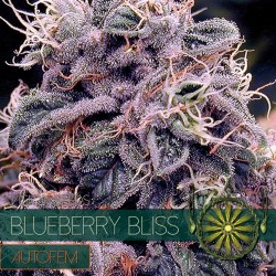 Vision Seeds Blueberry Bliss Auto 3 unids