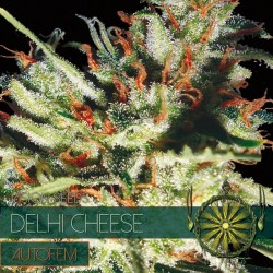 Vision Seeds Delhi Cheese Auto 3 unids