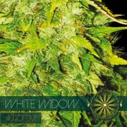 Vision Seeds White Widow Auto 3 unids