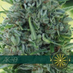 Vision Seeds Ak-49 3 unids