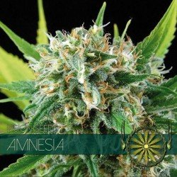 Vision Seeds Amnesia 10 unids