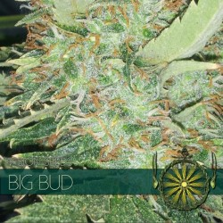 Vision Seeds Big Bud 3 unids