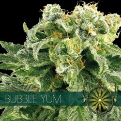 Vision Seeds Bubble Yum 3 unids