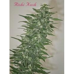 Mandala Seeds Rishi Kush 10 unids (R)