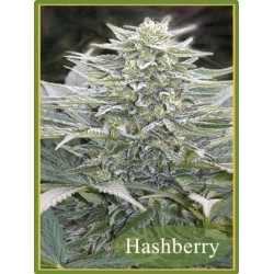 Mandala Seeds Hashberry 10 unids (R)