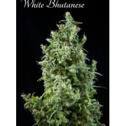 Mandala Seeds White Bhutanese 6 unids