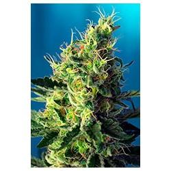 Sweet Pure CBD 3 semillas