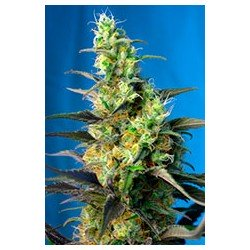 Ice Cool CBD 3 semillas