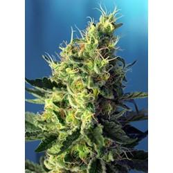 Sweet Pure CBD® 5 semillas