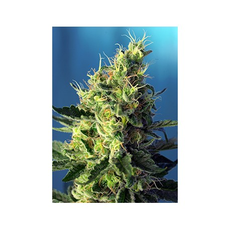 Sweet Pure CBD® 3 semillas