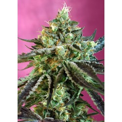 Sweet Nurse Auto CBD 3 semillas