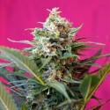 Auto Big Devil XL 5+2 u. fem. Sweet Seeds