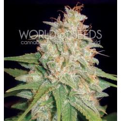 World Of Seed Mazar X White Rhino 12 Und Fem