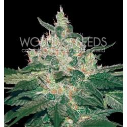 World Of Seed Afgan Kush 3Und Fem.