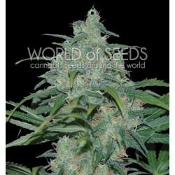World Of Seed Wild Thailand 7Und. Fem.
