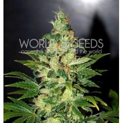 World Of Seed Chronic Haze 3 Und Fem