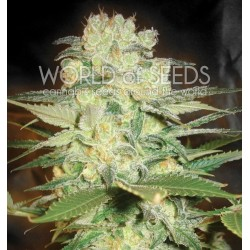 World Of Seed Afgan Kush X White Widow 3 Und Fem