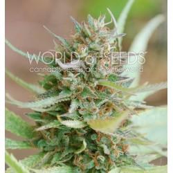 World Of Seed Strawberry Blue 7Und Fem
