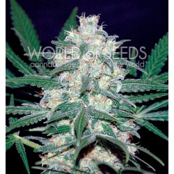 World Of Seed Pakistan Valley 10Und Reg.
