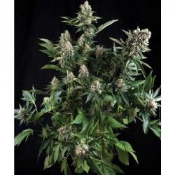 Pyramid Seeds Auto White Widow 5Und