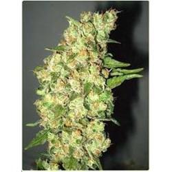 Professional Seeds Doble Jack 3Und Fem.