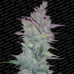 Paradise Seeds Vertigo 3Und Fem