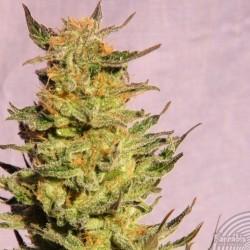 Kannabia Seeds Karamelo 10Und