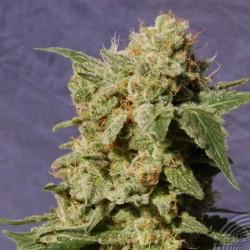 Kannabia Seeds Bcn Diesel 3Und Fem.