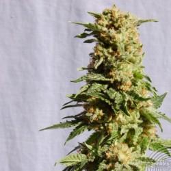 Kannabia Seeds La Blanca 5Und Fem.