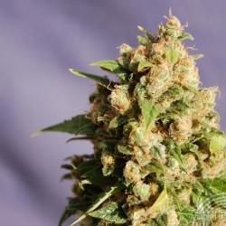 Kannabia Seeds Queso 5Und