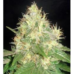 Delicious Seeds Northern Light Blue 3Und Fem