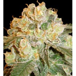 Delicious Seeds Caramelo Early Version 3Und Fem