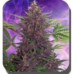 Buddha Seeds Purple Kush 5Und Auto