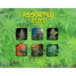Buddha Seeds Assorted 10Und Auto