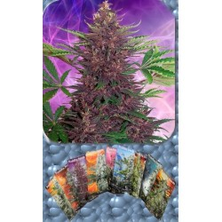 Buddha Seeds Purple Kush Blister 10Und Auto