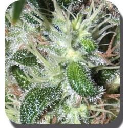 Buddha Seeds Pulsar Blister 10Und Fem