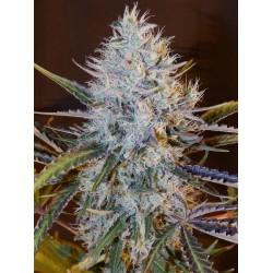 Lavender 1 semilla