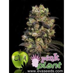 EVA PINK PLANT FEMINIZADA (3 UDS)